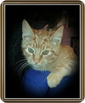 Domestic Shorthair Kitten for adoption in Richmond, California - Cheeze It