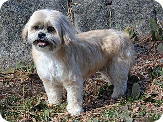 Shih Tzu Mix Dog for adoption in Mountain Center, California - Sam