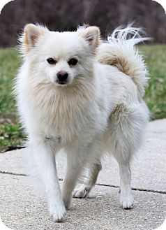 Pomeranian Mix Dog for adoption in Waldorf, Maryland - Dorian