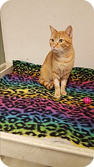 Domestic Shorthair Kitten for adoption in Indianola, Iowa - C8