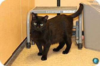 Domestic Shorthair Cat for adoption in Rochester, Minnesota - D.B.