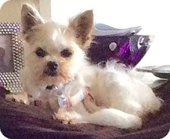 Brussels Griffon/Yorkie, Yorkshire Terrier Mix Dog for adoption in Los Angeles, California - Miley May