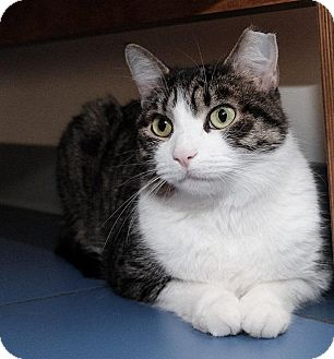Domestic Shorthair Cat for adoption in Brooklyn, New York - Cici
