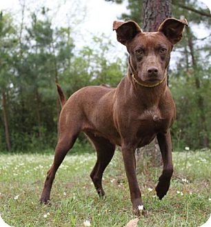 Rhodesian Ridgeback/Greyhound Mix Dog for adoption in Jefferson, Texas - Bubbles