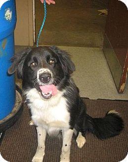 Border Collie Mix Dog for adoption in Kankakee, Illinois - Domino