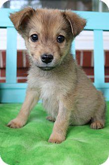 Pomeranian/Beagle Mix Puppy for adoption in Allentown, Pennsylvania - Deeks