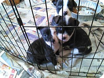 Mixed Breed (Medium)/Mixed Breed (Medium) Mix Puppy for adoption in Tiptonville, Tennessee - A liter of puppies