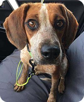 Beagle Mix Dog for adoption in Cincinnati, Ohio - Scarlett