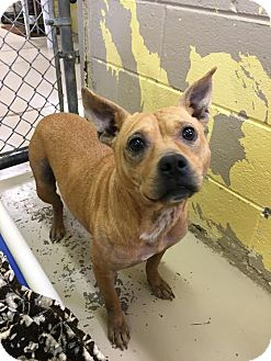 Mixed Breed (Medium)/Staffordshire Bull Terrier Mix Dog for adoption in Colonial Heights, Virginia - Polly Pockets