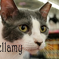 Adopt A Pet :: Bellamy - Wichita Falls, TX
