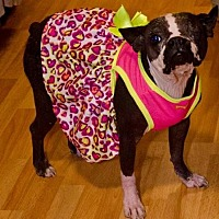 Boston Terrier Dog for adoption in Irving, Texas - Bonnie