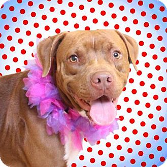 Terrier (Unknown Type, Medium)/American Pit Bull Terrier Mix Dog for adoption in Chico, California - Cinderella
