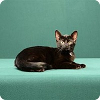 Adopt A Pet :: Rhoda (Kitten) - Cary, NC