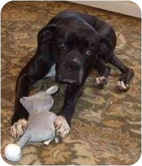 Boxer Dog for adoption in Jacksonville, Florida - Mara