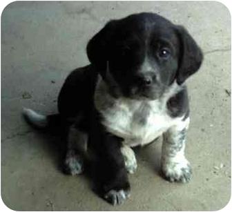 Basset Hound Mix Puppy for adoption in Fenton, Missouri - Spot