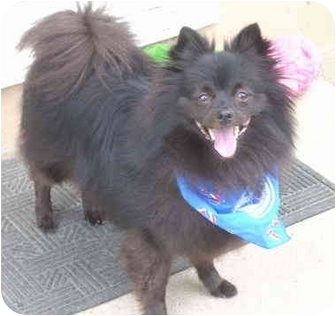 Pomeranian/Schipperke Mix Dog for adoption in Overland Park, Kansas - Rufus