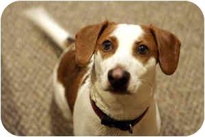 Beagle Mix Dog for adoption in Greensboro, Georgia - Otis - ATHENS