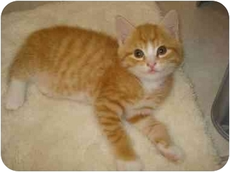 Domestic Shorthair Kitten for adoption in Richmond, Virginia - Strawberry