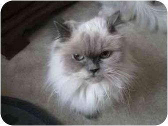 Himalayan Cat for adoption in Columbus, Ohio - Sweet Pea