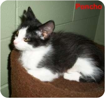 Domestic Mediumhair Kitten for adoption in Slidell, Louisiana - Poncho