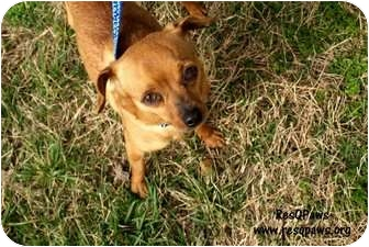 Chihuahua Mix Dog for adoption in Yuba City, California - Ponch