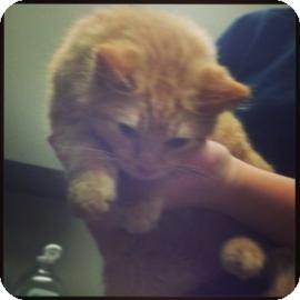 Domestic Mediumhair Kitten for adoption in Columbus, Georgia - Squirt 6F41