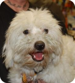 Havanese Mix Puppy for adoption in Brooklyn, New York - Hornet