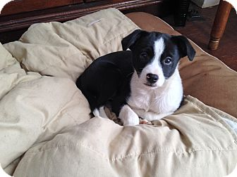Border Collie Mix Puppy for adoption in LaGrange, Kentucky - SPARKY