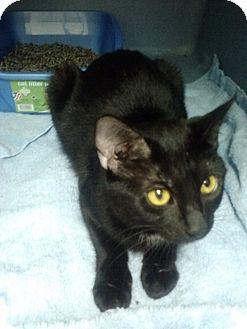 Domestic Shorthair Cat for adoption in Willington, Connecticut - Jedi