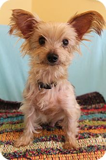 Yorkie, Yorkshire Terrier Dog for adoption in Allentown, Pennsylvania - Todd