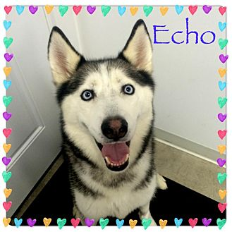Siberian Husky Dog for adoption in Sycamore, Illinois - Echo