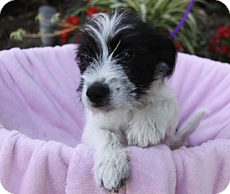 Terrier (Unknown Type, Small) Mix Puppy for adoption in Newport Beach, California - LOIS