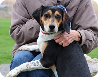 Treeing Walker Coonhound/Mountain Cur Mix Puppy for adoption in Elyria, Ohio - Mason