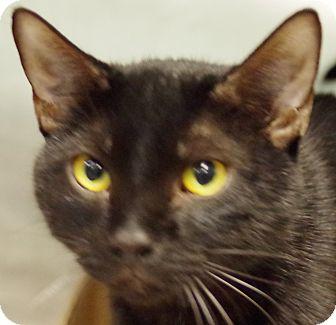 Domestic Shorthair Cat for adoption in Daytona Beach, Florida - Dark Matter