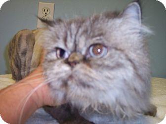 Himalayan Cat for adoption in Phoenix, Arizona - Sabrina