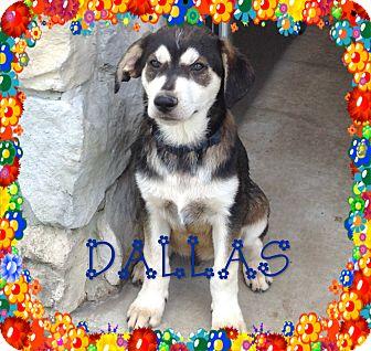 Siberian Husky/English Shepherd Mix Puppy for adoption in Houston, Texas - Dallas