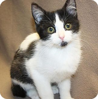 Domestic Shorthair Cat for adoption in Cottageville, West Virginia - Huxley