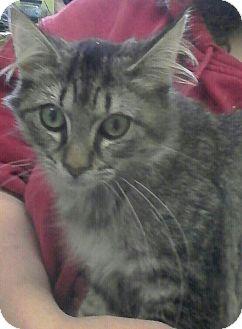 Maine Coon Kitten for adoption in Trevose, Pennsylvania - Pop tart