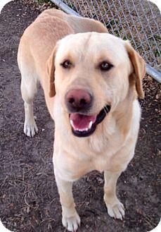 Labrador Retriever Mix Dog for adoption in Pewaukee, Wisconsin - ARCHIE