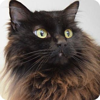 Domestic Longhair Cat for adoption in Denver, Colorado - Buddy
