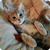 Adopt A Pet :: Amigo - Cleveland, OH
