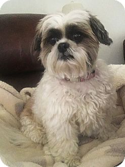 Shih Tzu Dog for adoption in Wooster, Ohio - SOFFIE