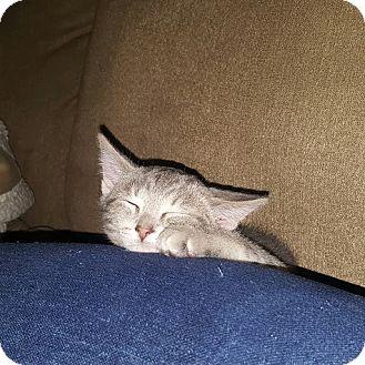 Domestic Shorthair Kitten for adoption in Cincinnati, Ohio - Cheshire
