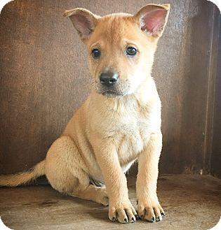 Shepherd (Unknown Type) Mix Puppy for adoption in Fredericksburg, Texas - Connor