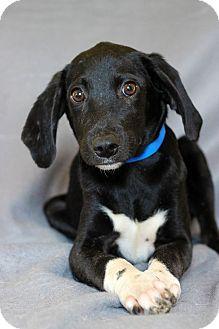 Hound (Unknown Type) Mix Puppy for adoption in Waldorf, Maryland - Remmy