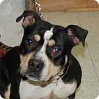 Adopt A Pet :: Rogue - Brooklyn, NY