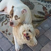 American Bulldog Mix Dog for adoption in Las Vegas, Nevada - Gus