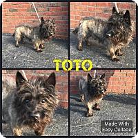 Adopt A Pet :: Toto - Garden City, MI