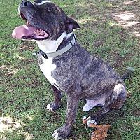 Adopt A Pet :: Jacob (65 lb) Love Bug - Niagara Falls, NY