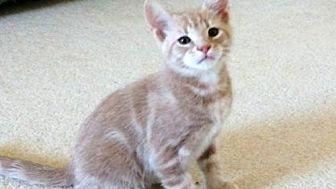 Domestic Shorthair Kitten for adoption in Herndon, Virginia - Button